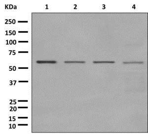 Western blot - Anti-CTU2/NCS2 antibody [EPR11194] (ab177160)