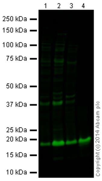 Western blot - Anti-Histone H2B (formyl K108) antibody (ab177168)