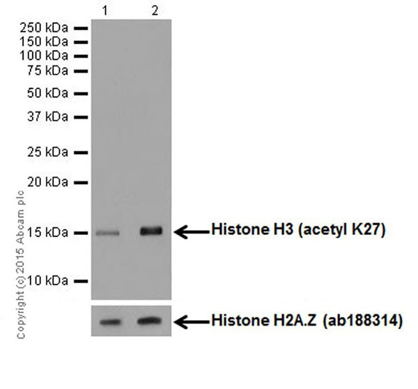 Western blot - Anti-Histone H3 (acetyl K27) antibody [EP16602] - ChIP Grade (ab177178)