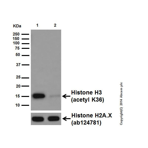 Western blot - Anti-Histone H3 (acetyl K36) antibody [EPR16992] (ab177179)