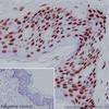 Immunohistochemistry (Formalin/PFA-fixed paraffin-embedded sections) - Anti-Histone H3 (mono methyl K79) antibody [EPR17466] - ChIP Grade (ab177183)
