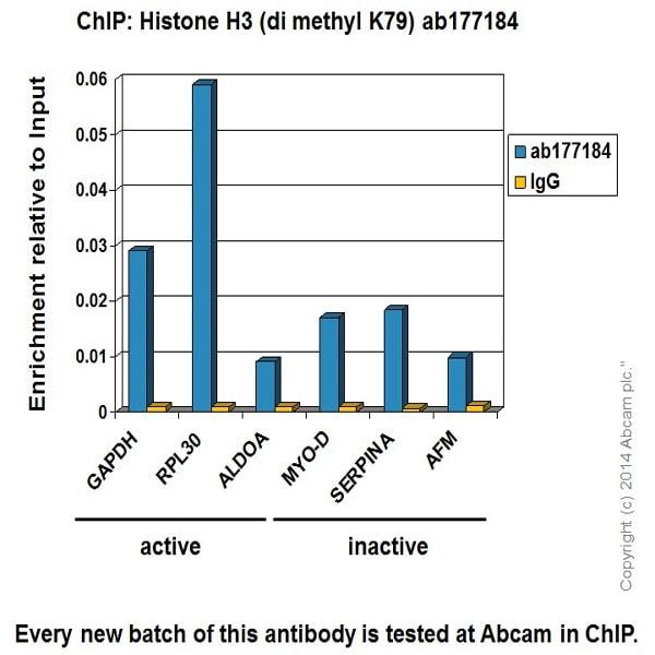 ChIP - Anti-Histone H3 (di methyl K79) antibody [EPR17467] - ChIP Grade (ab177184)