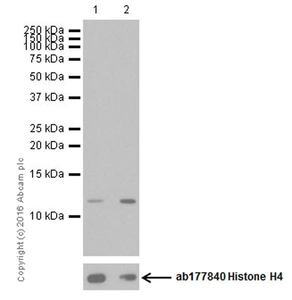 Western blot - Anti-Histone H4 (acetyl K20) antibody [EPR16998(2)] (ab177191)