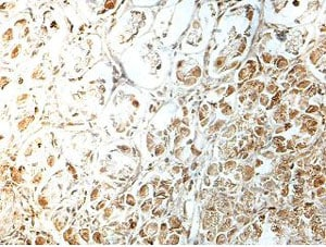 Immunohistochemistry (Formalin/PFA-fixed paraffin-embedded sections) - Anti-METTL8 antibody (ab177201)