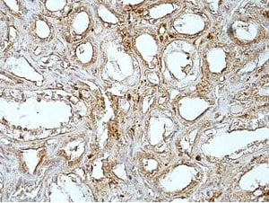 Immunohistochemistry (Formalin/PFA-fixed paraffin-embedded sections) - Anti-MGAT4B antibody (ab177206)