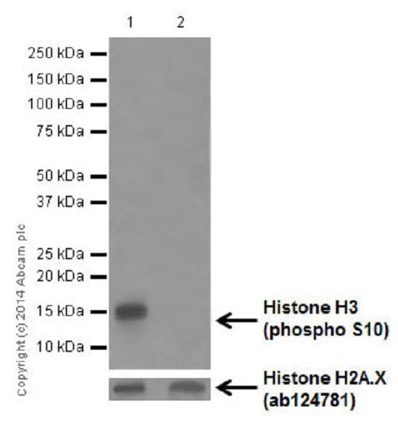 Western blot - Anti-Histone H3 (phospho S10) antibody [EPR17246] - ChIP Grade (ab177218)