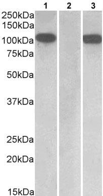 Western blot - Anti-Furin antibody (ab177231)