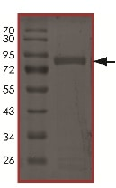 SDS-PAGE - Recombinant human AKT2 (mutated E17 K) protein (ab177258)
