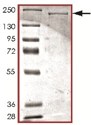 SDS-PAGE - Recombinant human LRRK2 protein (ab177261)