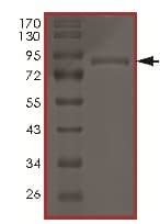 SDS-PAGE - Recombinant human AKT3 (mutated G171 R) protein (ab177263)