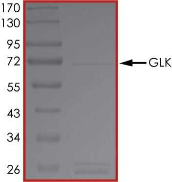 SDS-PAGE - Recombinant human MAP4K3/GLK protein (Tagged) (ab177265)