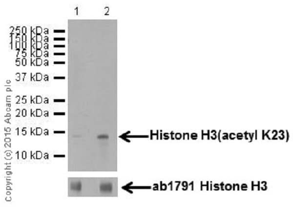 Western blot - Anti-Histone H3 (acetyl K23) antibody [EPR17712] - ChIP Grade (ab177275)