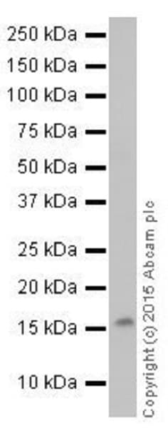 Western blot - Anti-Histone H3 (symmetric di methyl R26) antibody [EPR17719] (ab177284)