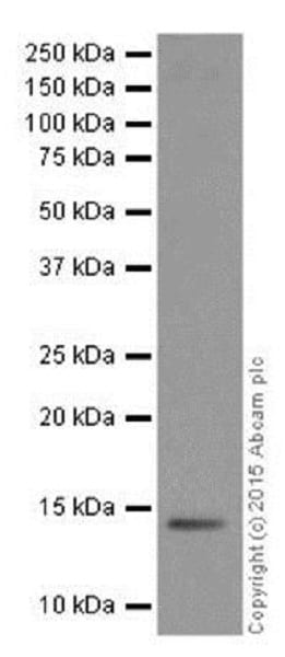 Western blot - Anti-Histone H2A antibody [EPR17470] - ChIP Grade (ab177308)