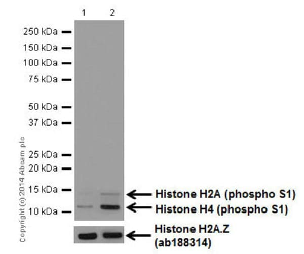 Western blot - Anti-Histone H2A (phospho S1) + Histone H4 (phospho S1) antibody [EPR18184] (ab177309)