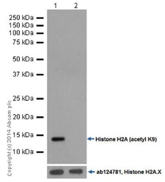 Western blot - Anti-Histone H2A (acetyl K9) antibody [EPR17471] - ChIP Grade (ab177312)