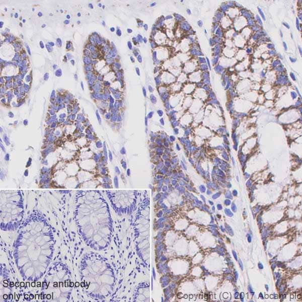 Immunohistochemistry (Formalin/PFA-fixed paraffin-embedded sections) - Anti-PDHA1 (phospho S293) antibody [EPR12200] (ab177461)