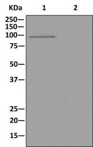Western blot - Anti-ALDH1L1 antibody [EPR12743(B)] (ab177463)