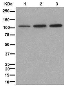 Western blot - Anti-NFAT2 antibody [EPR2431(N)(B)] (ab177464)