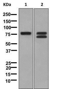 Western blot - Anti-TRP1 antibody [EPR13064(B)] - C-terminal (ab177468)