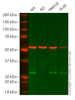 Western blot - Anti-NDUFS3 antibody [EPR12782] - C-terminal (ab177471)