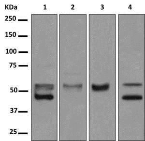 Western blot - Anti-BTNL3 antibody [EPR8411(2)(B)] (ab177473)