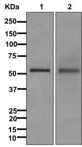 Western blot - Anti-C16orf88 antibody [EPR12561] (ab177476)