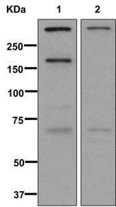 Western blot - Anti-Versican antibody [EPR12277] (ab177480)