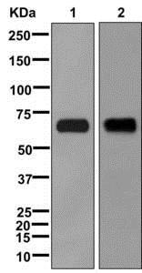 Western blot - Anti-Kv1.1 potassium channel antibody [EPR12718] (ab177481)