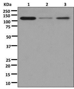Western blot - Anti-PER3 antibody [EPR13038] (ab177482)