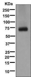 Western blot - Anti-GABA Transporter 1 / GAT 1 antibody [EPR12998] (ab177483)