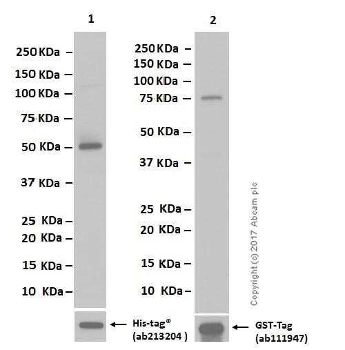 Western blot - Anti-MAT2A + MAT1A antibody [EPR10496] (ab177484)