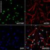 Immunocytochemistry/ Immunofluorescence - Anti-NeuN antibody [EPR12763] - Neuronal Marker (ab177487)