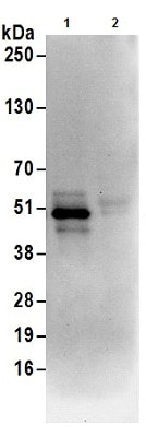 Immunoprecipitation - Anti-UBA5 antibody (ab177507)