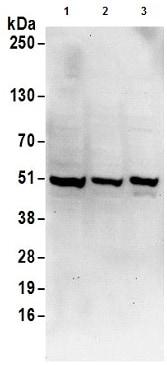 Western blot - Anti-UBA5 antibody (ab177507)