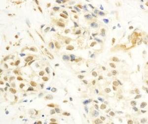 Immunohistochemistry (Formalin/PFA-fixed paraffin-embedded sections) - Anti-c-Myb antibody (ab177510)