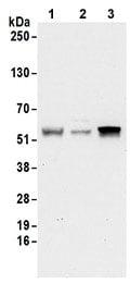 Western blot - Anti-C14orf130 antibody (ab177516)