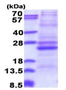 SDS-PAGE - Recombinant Human ATP5F1 protein (denatured) (ab177591)