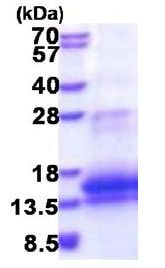 SDS-PAGE - Recombinant Human WFDC12 protein (ab177599)