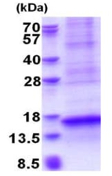 SDS-PAGE - Recombinant Human CXCL17/DMC protein (denatured) (ab177612)