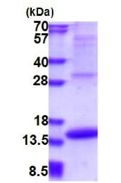 SDS-PAGE - Recombinant Human Melanoma Inhibitory Activity protein (denatured) (ab177614)