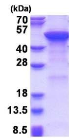 SDS-PAGE - Recombinant Human MGAT2 protein (denatured) (ab177615)