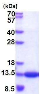 SDS-PAGE - Recombinant Human CKS1 protein (His tag) (ab177620)