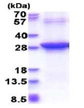 SDS-PAGE - Recombinant Human Rad51D protein (denatured) (ab177628)