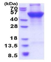 SDS-PAGE - Recombinant Human UQCRC1 protein (denatured) (ab177632)