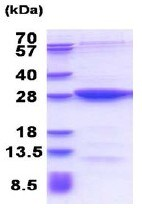 SDS-PAGE - Recombinant Human MOBKL2B protein (ab177639)