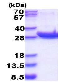 SDS-PAGE - Recombinant Human CD45 protein (ab177717)