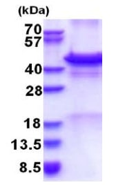 SDS-PAGE - Recombinant Human Calreticulin 3 protein (denatured) (ab177729)