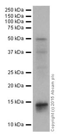 Western blot - Anti-Histone H2B (mono methyl K85) antibody [EPR17613] (ab177781)