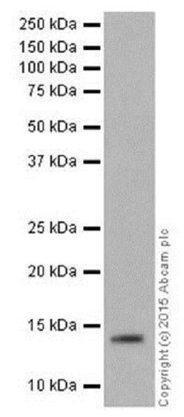 Western blot - Anti-Histone H2B (formyl K108) antibody [EPR17697] (ab177784)